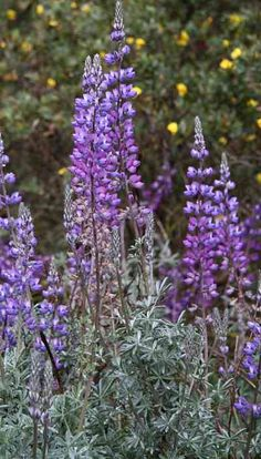Lupinus albifrons (Silver Bush Lupine) - A beautiful large fast-growing upright perennial to 3 to 4 feet tall and wide with silvery palmate leaves and lavender-blue flowers that rise on stalks up to 1 foot above the foliage in spring and often continue through much of the summer.