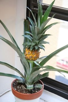 Baby pineapple.   Once the pineapple plant is over 1 year old, you can work on forcing it to bloom and produce a pineapple.