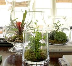 Glass acts    Everyday containers such as carafes and vases can make ideal terrariums. Inside(left, from left): a miniature guzmania bromeliad; maidenhair fern and selaginella; and a mix of selaginellas, button fern and variegated Dizygotheca.