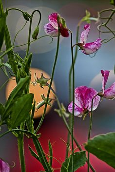 ~~Sweetpeas by magnusl67-- Natural beauty - just like you mom!!