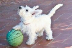 This ball is mine! I saw it first! From Westie Quilts