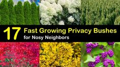 17 Fast Growing Privacy Bushes to Deal with Nosy Neighbors - Modern Fast Growing Privacy Shrubs, Shrubs For Privacy, Landscaping Along Fence, Fast Growing Evergreens, Privacy Trees, Landscaping Ideas, Backyard Landscaping, Backyard Gazebo, Privacy Fences