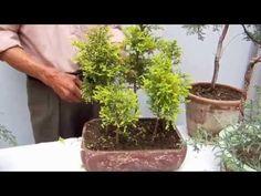 Cipreces sí para el bonsai - YouTube