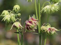 Gefüllte Akelei 'White Barlow' - Semiaquilegia x cultorum 'Plena White Barlow' Plants, Google, Garden Plants, Shade Perennials, Nice Asses, Searching, Plant, Planets