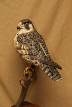 Peregrin Falcon by FowlPlayStudiosInc on Etsy, $3200.00