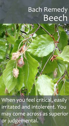 Bach Flower Remedy - Beech - Also useful when we are very sensitive to criticism ourselves, although others may not guess it.