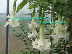 brugmansia species 'Double White'