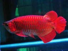 Asian Red Arowana