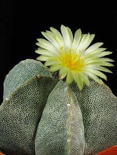 Astrophytum myriostigma (Bishop's Cap, Bishop's Hat, Bishop's Miter Cactus) → Plant characteristics and more photos at: http://www.worldofsucculents.com/?p=1262