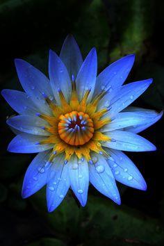 Electric blue and orange water lily - Kauai, Hawaii
