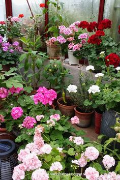 Geraniums (pelaragoniums) are so pretty in this greenhouse. Natural Ting Garden Blog