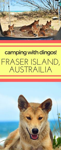 Camping with dingos on Fraser Island, Australia Used Camping Gear, Camping Spots, Camping World, Camping Ideas, Great Barrier Reef, Queensland Australia, Australia Travel, Melbourne, California Camping