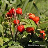 Rose Hips - What are They and What Do You Do with Them?