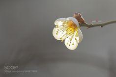 Prunus mume.(매화) ---2 by JAMES-CORY. @go4fotos