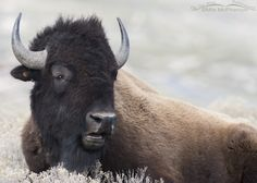 Resting Bison Bull Close Up