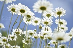 Blue sky and daisies Mountain Living, Summer Sky, Finland, Summertime, Daisy, Flowers, Happiness, Blue, Beautiful
