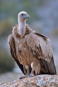 El buitre leonado (Gyps fulvus) es una especie de ave accipitriforme de la familia Accipitridae. Es una de las mayores rapacesque puede encontrarse en la península Ibérica, superando en envergadura (hasta 260 cm.) incluso al águila imperial ibérica.