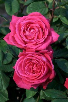 Rose 'Lolita Lempicka'