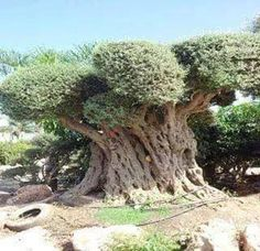 The olive tree is a very long-lived tree that can reach a few thousand years: this characteristic is due primarily to the fact that is able to regenerate completely or largely the apparatus epigean and hypogean damaged