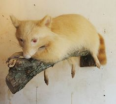 EXTREMELY RARE ALBINO RACCOON Taxidermy Mount Oddities Cabin Decor Hunting Lodge