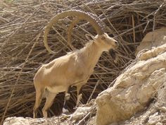 Birthright Israel Participant Andrew Gerren's photo of the Nubian Ibex, found in the mountainous areas of Israel.