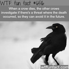 WTF Facts : funny, interesting & weird facts — The smartest birds - WTF fun facts Fun Facts About Animals, Animal Facts, Wtf Fun Facts, Funny Facts, Random Facts, Creepy Facts, Random Stuff, Crow Facts, Raven Facts