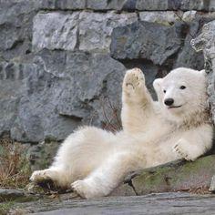 Cute Funny Animals, Cute Baby Animals, Animals And Pets, Baby Polar Bears, Tier Fotos, Bear Cubs, Animal Photography, Animal Kingdom, Animals Beautiful
