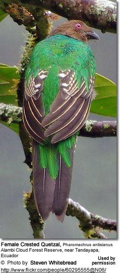 Female Crested Quetzal, Pharomachrus antisianus