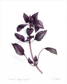 Purple basil - Vincent Jeannerot