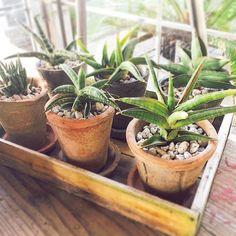 植物アプリの決定版 http://greensnap.jp  #インテリアグリーン #植物好きと繋がりたい #ボタニカル#ドライフラワー #多肉#多肉植物#アガベ #観葉植物 #ガーデニング #グリーンインテリア  #園芸 #フラワー #花のある暮らし #succulents #cactus#gardening  #containergarden #flowerstagram #greenthumb  #containergarden #botanical#珍奇植物 #サボテン #ユーフォルビア #根塊植物