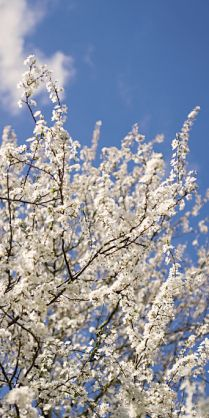 almond blossoms in Spring