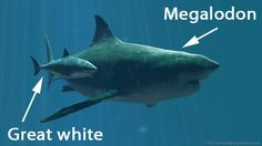 Megalodon grew up to 50 feet long. Why you're glad they're extinct: Their teeth were the size of an average human hand. *shudder* Despite t...