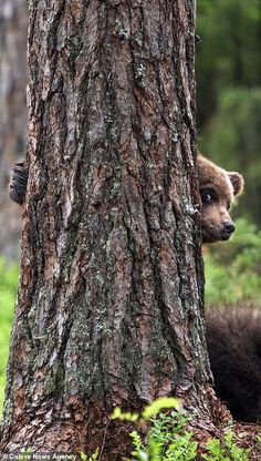 Bear cubs snapped playing hide-and-seek and climbing trees in Finland Mother bear and her three adorable cubs were photographed in a forest clearing in Suomussalmi, east-central Finland, as they enjoyed some quality family time together. Cute Baby Animals, Animals And Pets, Funny Animals, Nature Animals, Bear Pictures, Cute Animal Pictures, Bear Photos, Beautiful Creatures, Animals Beautiful