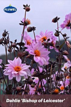 Die Dahlie 'Bishop of Leicester' verzaubert den Garten mit einer rosa Wolke aus enorm vielen, fröhlich tanzenden Blüten, die über feinem, tief dunklen Blätter auf und ab wippen. Ein faszinierendes Sommer-Schauspiel 💟 Leicester, Enorm, Pink Clouds, Daffodils, Dahlias, Tulips, Lawn And Garden, Summer