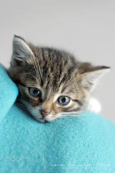 Kitten on blue -