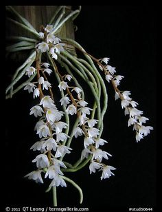 Microcoelia stolzii. A species orchid (color)