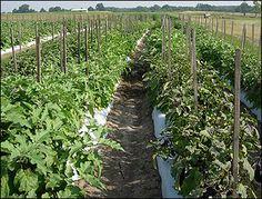 G6369 Eggplant Production   University of Missouri Extension