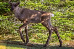 We didn't realize that woodland caribou existed in Ontario before we started planning our trip to the Slate Islands off the North Shore of Lake Superior. The Slate, Lake Superior, North Shore, Kangaroo, Ontario, Woodland, Planets, To Go, Adventure