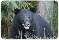Brown Bear Black Bear, Brown Bear, Photography, Animals, Fotografie, Animales, Photograph, American Black Bear, Animaux
