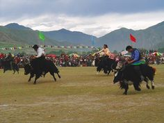 Yak polo in Mongolia