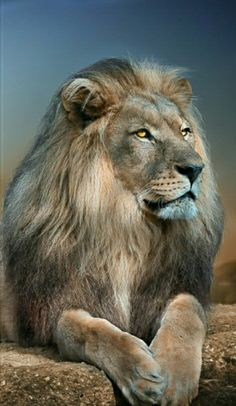 Ideas Tattoo Lion Of Judah Big Cats - Animals World Beautiful Cats, Animals Beautiful, Big Cats, Cats And Kittens, Animals And Pets, Cute Animals, Gato Grande, Lion Of Judah, Tier Fotos