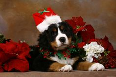 Bernese Mountain Dog Puppy at Christmas