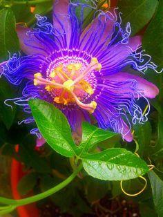 Passion Flower. Lavender, Purple, Yellow, Green