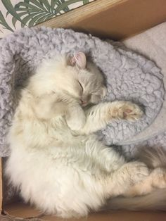 19 Ideas For Cats Sleeping Illustration Kitty Animals And Pets, Baby Animals, Cute Animals, Pretty Cats, Beautiful Cats, Cat Sleeping, White Cats, Crazy Cats, Kittens Cutest