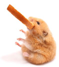 Hungry #little #hamsters :) http://www.kafepauza.mk/zanimlivosti/gladni-hrchachinja/