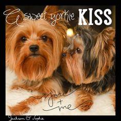Sweet Yorkie Kiss - http://yorkiefanclub.com/sweet-yorkie-kiss/ Share your Yorkie at YorkieFanClub.com!