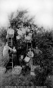 Picking in Gellatley Orchard  Picking in Gellatley Orchar circa 1910  West Kelowna, BC