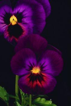 Purple Pansies on Black ~ flowersgardenlove.