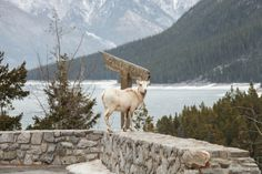 Wild Mountain Goat in the Canadian Rocky Mountains by Jessica Cochran Photography | Two Bright Lights :: Blog