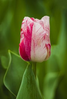 Tulip | Flickr - Photo Sharing!